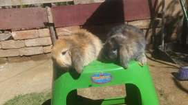 Vendo hermosos conejitos