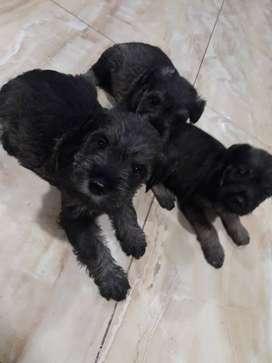 Hermosos cachorritos raza sznaucher, de 6 semanas de nacidos