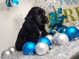 Hermosos cocker spaniel americanos pedigree A