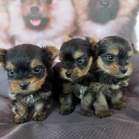 Yorkshire terrier bellísimos cachorros