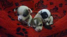 Hermoso cachorros chihuahua