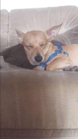 El mas lindo Chihuahua del Ecuador