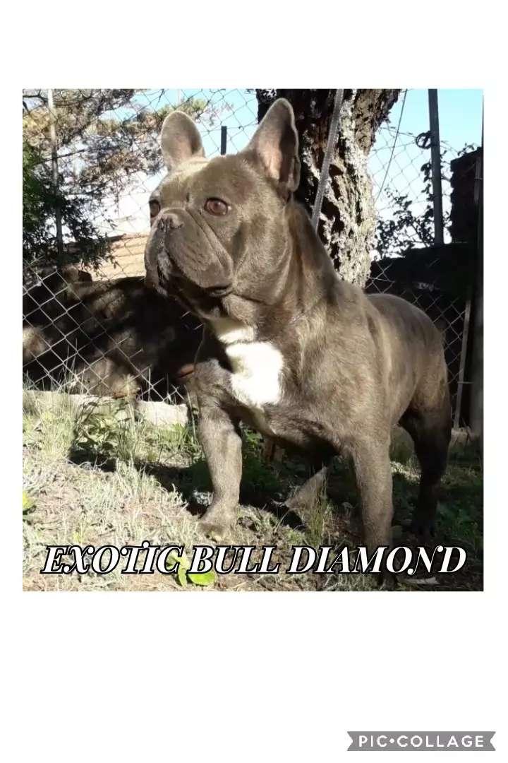 Bulldog francés macho exótico busca novia. Servicio 0