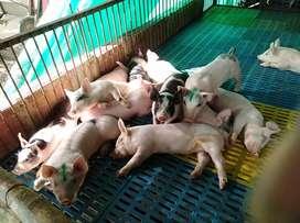 Venta cerdos levante, ceba y en canal.