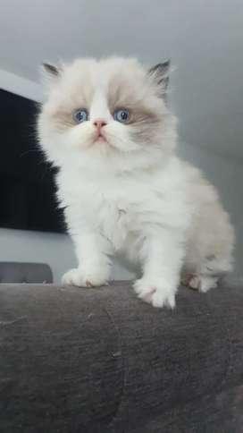 Vendo gato persa himalayo
