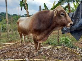Toro reproductor