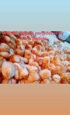 Veta de gallinas ponedoras hy line de cabaña echas para postura genéticamente