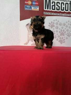 Pequeña yorkshire terrier dos mesesitos de edad