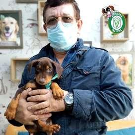 ¡Doberman hermosos cachorros en Pet Vital!