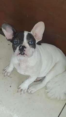 Disponible bulldog frances macho pie blue de ojos azules