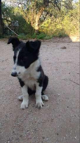 Cachorro Border Collie Blanco y Negro HEMBRA