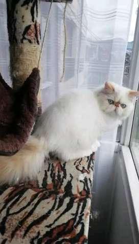 Vendo gato persa reproductor