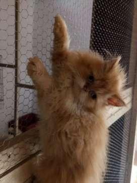Gato persa tres meses