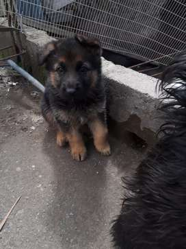 Linda cachorrita pastor alemán