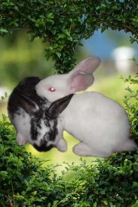Hermosos conejos mariposa y nueva zelanda a la venta