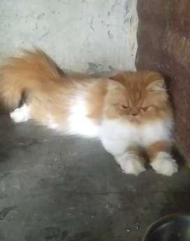Vendo 2 gatas persas enteras en el HUILA