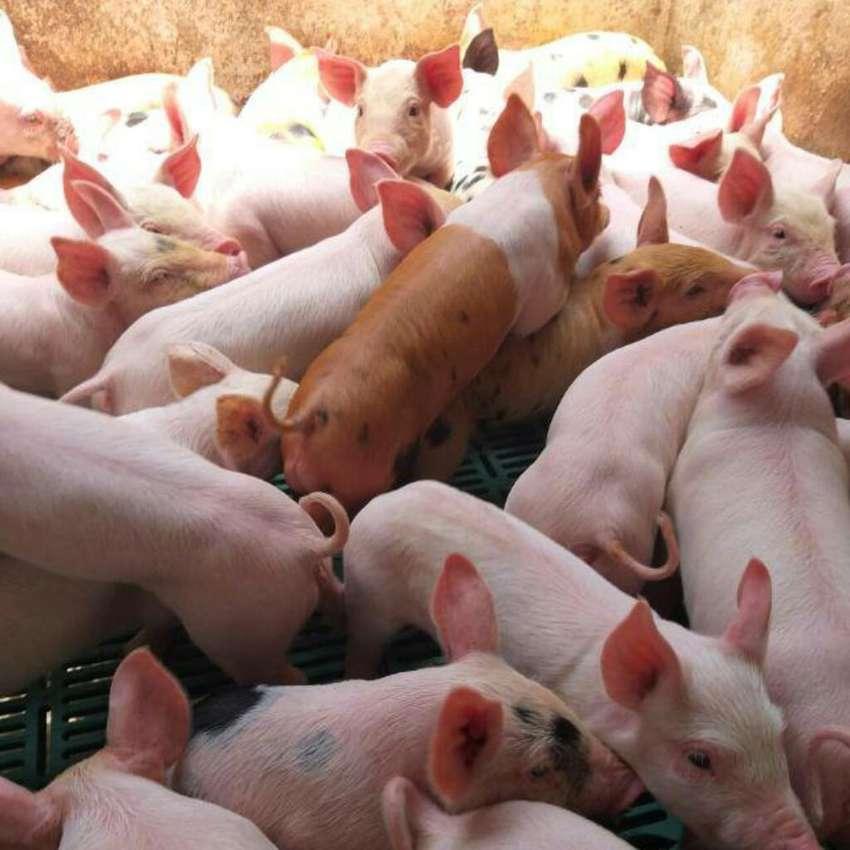 Cerdos Del Cauca Al por Mayor Y Detal 0