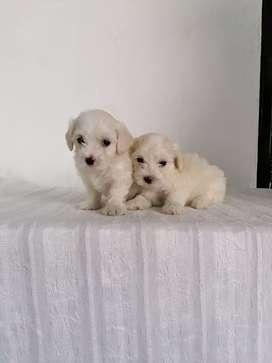 Juguetones cachorros french poodle con 53 días de nacimiento