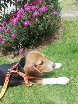 Busca novio Beagle