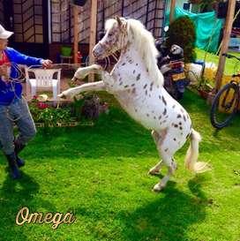 Hermosa pony appaloosa