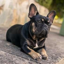 OFERTA!! Bulldog Francés Disponible para Monta