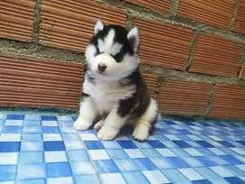 Lobo Husky Siberiano ojos Azules