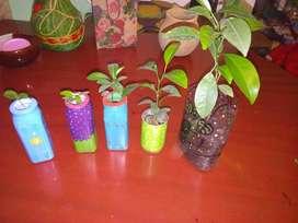 Plantas de limón, naranjo, mandarino desde $5000