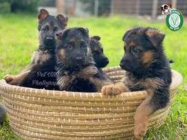 Pastor Aleman cachorros en Pet Vital