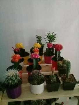 Cactus, suculentas y mini peseras