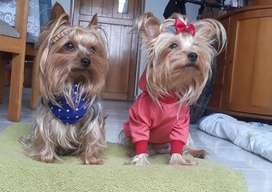 Cachorritas Yorkshire Terrier
