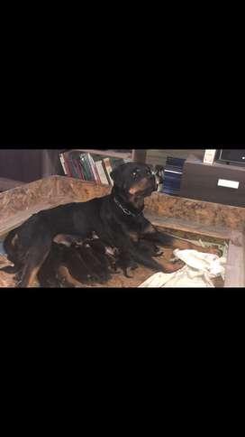 Vendo cachorros Rotwailer