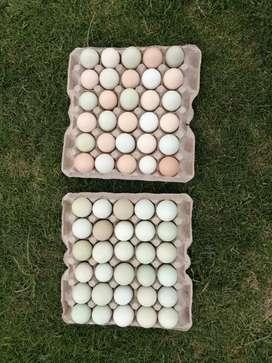 Vendo huevos organicos