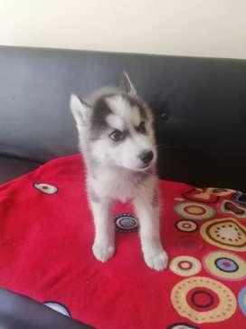 Tengo hermosos lobos siberianos de dos meses y medio juguetones cada uno con una personalidad  única  buscando un hogar