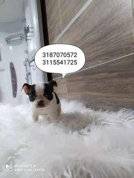 Cachorra Boston terrier 100% raza pura Negociable