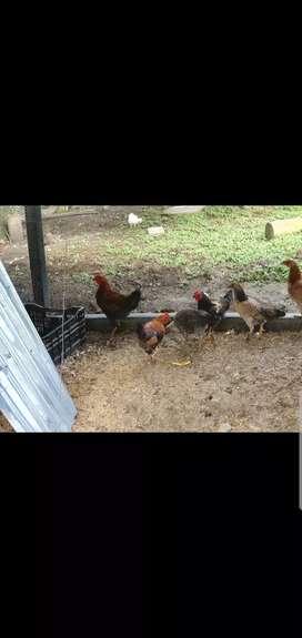 Gallos y gallinas finos