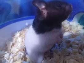 hamster angora