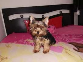 Linda Yorkshire terrier mini