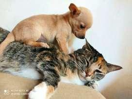 Venta perro pincher