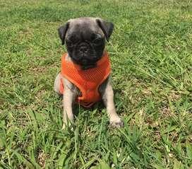 Pug hembra 2 meses de edad