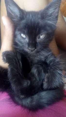 En adopción gatitos