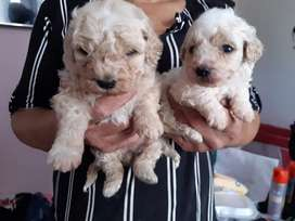 French poodle hembra y macho