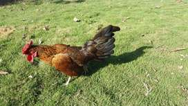 se vende gallo gallino
