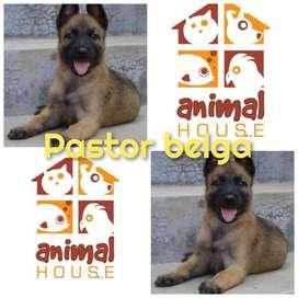 Pastor Belga Referencia 34