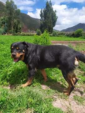 Rottweiler busca novia CUSCO