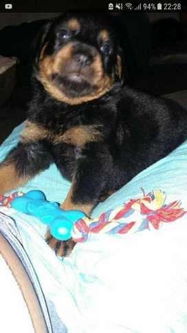 Rottweiler Puro 0958792567
