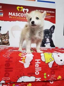 Espectaculares cachorros pomsky siberianos