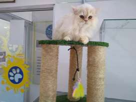 Persa gato de 4 meses