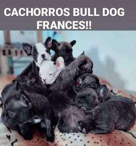 Bull Dog Francés