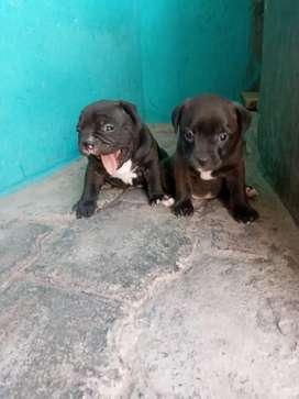 Vendo cachorros de AMERIKAN BULLY puros
