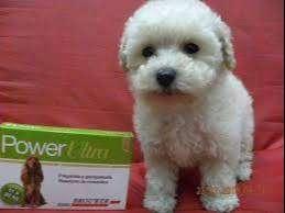 French poodle mini toy cachorros blancos puros y color beige